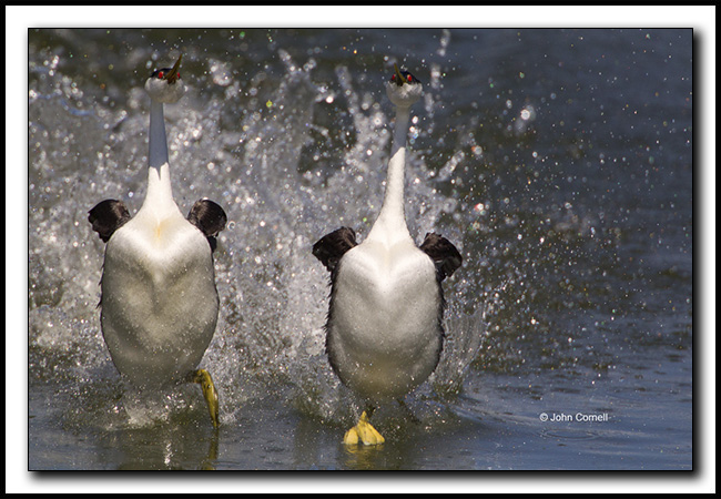 "Clark's Grebes engaged in a courtship ""rush"" commonly called a dance or dancing Grebes. Copyright John Cornell"