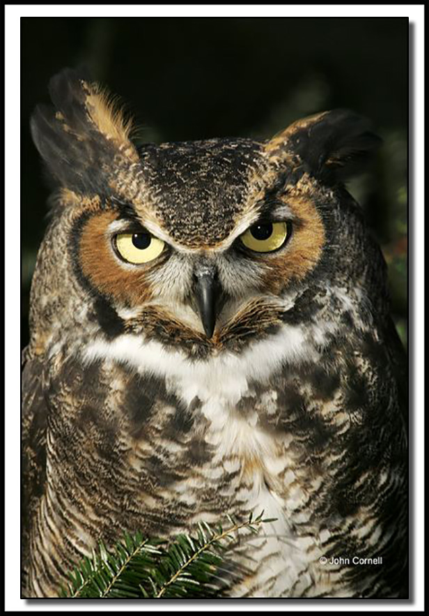 Great Horned Owl ( BuBubo virginianus) portrait_Copyright John Cornell