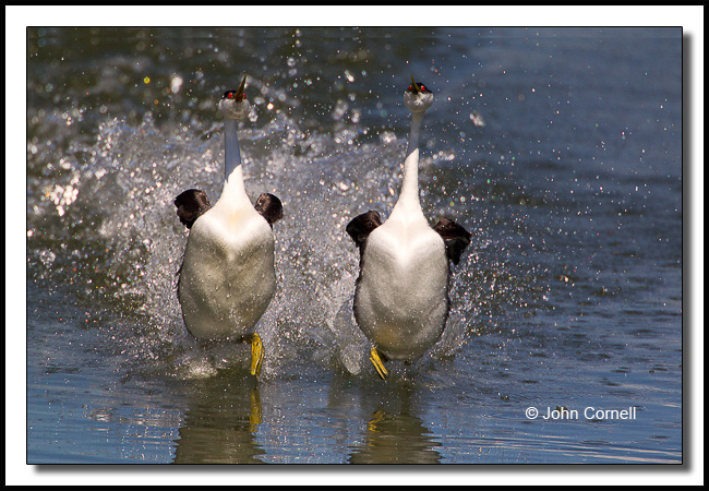 Western Grebe (Aechmophorus occidentalis) rushing (Dancing) during mating and courtship season._Copyright John Cornell