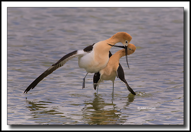 American Avocet (Recurvirostra americana) engaged in the post coital dance after mating.