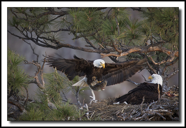 Bald Eagle nest with parent bringing food to chicks and other parent._Copyright John Cornell