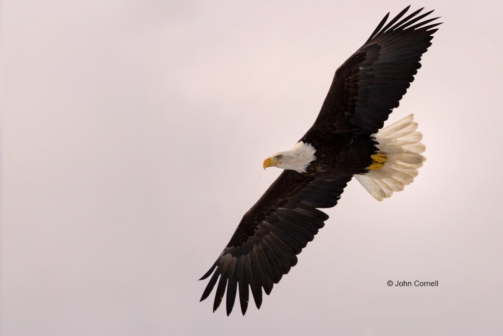 Alaska;Bald Eagle;Flying Bird;Haliaeetus leucocephalus;Kenai Peninsula;Photography;action;active;aloft;behavior;birds;close up;color image;flight;fly;flying;in flight;motion;movement;one animal;predator;predatorily;predators;soar;soaring;wing;winged;wings