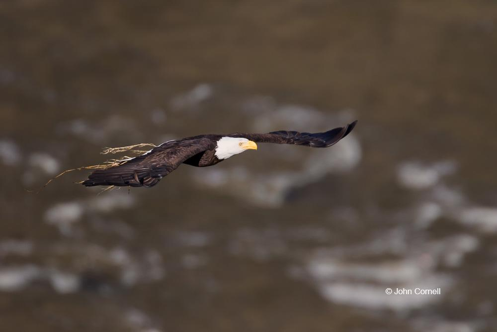 Bald Eagle;Birds of Prey;Eagle;Flying Bird;Haliaeetus leucocephalus;Nest;Nesting;Nesting Material;Photography;action;active;aloft;behavior;birds;color image;flight;fly;flying;in flight;motion;movement;nurturing;one animal;parenting;raptor;soar;soaring;talons;wing;winged;wings
