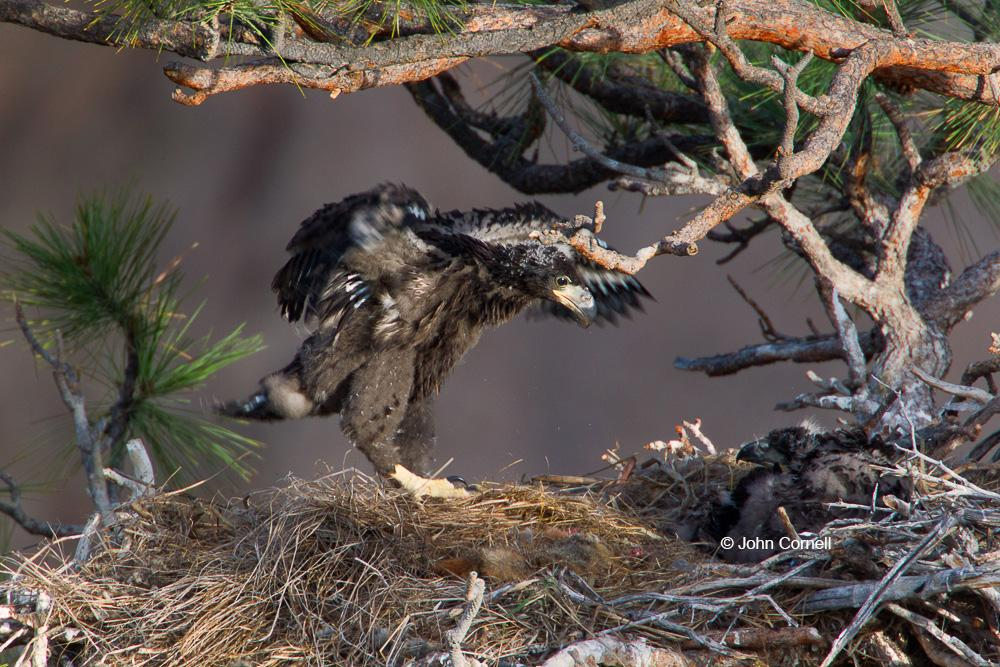 Bald Eagle;Eagle;Haliaeetus leucocephalus;Nest;Nesting;chick;juvenile; Bald Eagle;Birds of Prey;Eagle;Flying Bird;Haliaeetus leucocephalus;Nest;Nesting;Nesting Material;Photography;action;active;aloft;behavior;birds;color image;motion;movement;nurturing;one animal;parenting;raptor;talons;wing;winged;wings