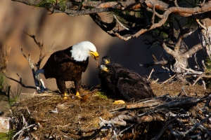 Bald-Eagle;Birds-of-Prey;Eagle;Feeding-Behavior;Haliaeetus-leucocephalus;Nest;Of