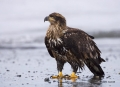 Kenai-Peninsula;Bald-Eagle;Haliaeetus-leucocephalus;Alaska;Birds-of-Prey;Curved-