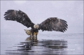 Alaska;Kenai-Peninsula;Bald-Eagle;Flight;Haliaeetus-leucocephalus;Flying-bird;On