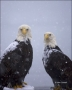 Alaska;Kenai-Peninsula;Bald-Eagle;Haliaeetus-leucocephalus;one-animal;close-up;c
