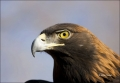 Male;Colorado;Golden-Eagle;Aquila-chrysaetos;one-animal;close-up;color-image;nob