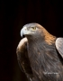 Golden-Eagle;Aquila-chrysaetos;Eagle;Birds-of-Prey;Curved-Beak;Hunter;Hunters;Pr