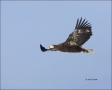 Stellers-Sea-Eagle;Sea-Eagle;Eagle;Flight;Juvenile;flying-bird;one-animal;close-