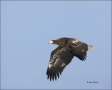 Stellers-Sea-Eagle;Sea-Eagle;Eagle;Flight;Juvenile;Stellers-Sea-Eagle;Haliaeetus