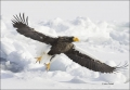 Stellers-Sea-Eagle;Sea-Eagle;Eagle;Flight;flying-bird;one-animal;close-up;color-