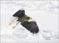 Stellers-Sea-Eagle;Sea-Eagle;Eagle;Flight;Stellers-Sea-Eagle;Haliaeetus-pelagicu