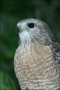 Red_shouldered-Hawk;Hawk;Florida;one-animal;color-image;nobody;photography;day;o