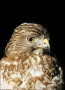 Merlin;Falcon;one-animal;close-up;color-image;nobody;photography;day;outdoors-Wi