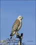 Red-shouldered-Hawk;Everglades;Florida;Hawk;Buteo-lineatus;one-animal;close-up;c
