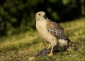 Florida;Everglades;Hawk;Red_shouldered-Hawk;Prey;one-animal;close_up;color-image