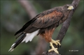 Hawk;Harriss-Hawk;Southwest-USA;Texas;Parabuteo-unicinctus;one-animal;close_up;c