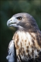 Florida;Southeast-USA;Red-tailed-Hawk;Hawk;Buteo-jamaicensis;one-animal;close-up