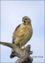 Florida;Southeast-USA;Red-shouldered-Hawk;Hawk;portrait;one-animal;close-up;colo