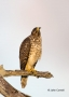 Coopers-Hawk;Hawk;Acipiter-cooperii;Coopers-Hawk;Birds-of-Prey;Curved-Beak;Hunte