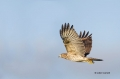 Buteo-lineatus;Hawk;Red-shouldered-Hawk;Flight;One;one-animal;avifauna;bird;bird