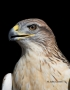 Hawk;Buteo-regalis;Ferruginous-Hawk;Birds-of-Prey;Curved-Beak;Hunter;Hunters;Pre