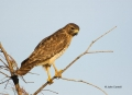 Red-shouldered-Hawk;Hawk;Buteo-lineatus;One;one-animal;avifauna;bird;birds;feath