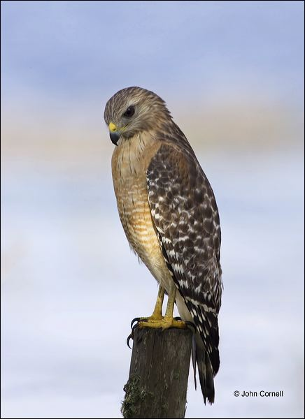 Florida;Red-shouldered Hawk;Hawk;Southeast USA;Buteo lineatus;one animal;close-up;color image;nobody;photography;day;outdoors. Wildlife;birds;animals in the wild;Birds of Prey;Curved Beak;Hunter;Hunters;Predator;Predatory;Talon;Talons;Raptor;Raptors;avifauna;feathered;feathers;wilderness;perch;perching;watch;watchful