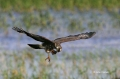 Snail-Kite;Kite;Rostrhamus-sociabilis;Flying-bird;action;aloft;behavior;flight;f