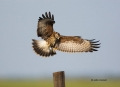 Kite;Rostrhamus-sociabilis;Snail-Kite;Flight;curved-beak;hunter;hunters;raptor;r