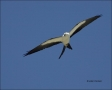 Swallow-tailed-Kite;Everglades;Kite;Flight;Florida;Southeast-USA;one-animal;clos
