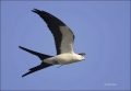 Swallow-tailed-Kite;Kite;Florida;Southeast-USA;Flight;Elanoides-forficatus;Birds