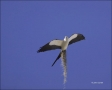 Flight;Kite;Swallow-tailed-Kite;Florida;Nest-Building;Elanoides-forficatus;Birds