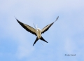 Swallow-tailed-Kite;Elanoides-forficatus;Kite;Flight;Flying-bird;action;aloft;be