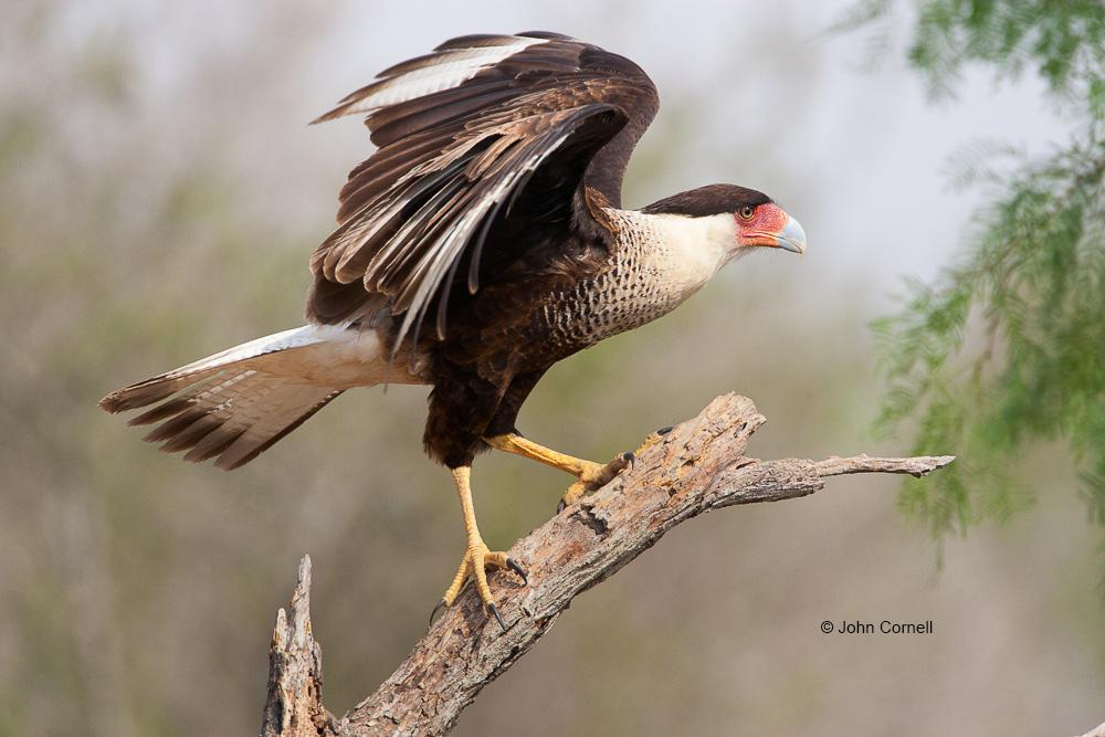 Birds of Prey;Caracara;Caracara cheriway;Crested Caracara;curved beak;hunter;predator;predatorily;raptor;talon, talons, Animals in the Wild, avifauna, birds, Birds of Prey, close-up, color image, curved beak, day, eye, feathered, feathers, hunter, hunters, looking, nature, nobody, one animal, outdoors. Wildlife, perch, perched, perching, Photography, portrait, predator, predatory, raptor, raptors, talon, talons, watch, watchful, wild, wilderness