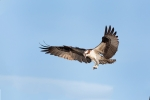 Birds-of-Prey;Breeding-Plumage;Flying-Bird;Osprey;Pandion-haliaetus;action;activ