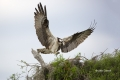 Breeding-Behavior;Breeding-Plumage;Breeding-Season;Nest;Osprey;Pandion-haliaetus