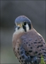 American-Kestrel;Kestrel;one-animal;close-up;color-image;nobody;photography;day;
