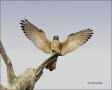 Florida;Kestrel;American-Kestrel;flying-bird;one-animal;close-up;color-image;nob