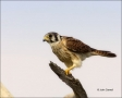 Falcon;Florida;Kestrel;American-Kestrel;Falco-sparverius;one-animal;close-up;col