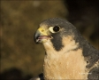 Colorado;Peregrine-Falcon;Female;Falco-peregrinus;portrait;one-animal;close-up;c