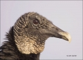 Florida;Southeast-USA;Everglades;Vulture;Black-Vulture;portrait;one-animal;close