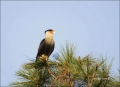 Florida;Caracara;Northern-Caracara;Caracara-cheriway;Birds-of-Prey;Curved-Beak;H