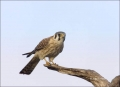 American-Kestrel;Kestrel;Falco-sparverius;one-animal;close-up;color-image;nobody