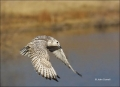 Gyrfalcon;Falco-rusticolus;Birds-of-Prey;Curved-Beak;Hunter;Hunters;Predator;Pre