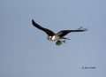 Osprey;Pandion-haliaetus;curved-beak;hunter;hunters;raptor;raptors;talon;talons;