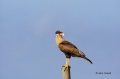 Northern-Caracara;Caracara-cheriway;Caracara;One;avifauna;bird;feather;feathered
