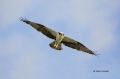 Osprey;Pandion-haliaetus;Flight;Birds-of-Prey;Curved-Beak;Hunter;Hunters;Predato